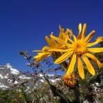 Arnica Montana Plant
